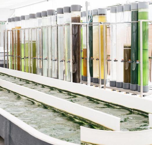 alguna de las microalgas que se cultivan en las instalaciones de neoalgae